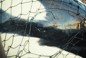 Captured Orca Penn Cove, Whidbey Island, WA 1970 Photo by Dr. Terry Newby